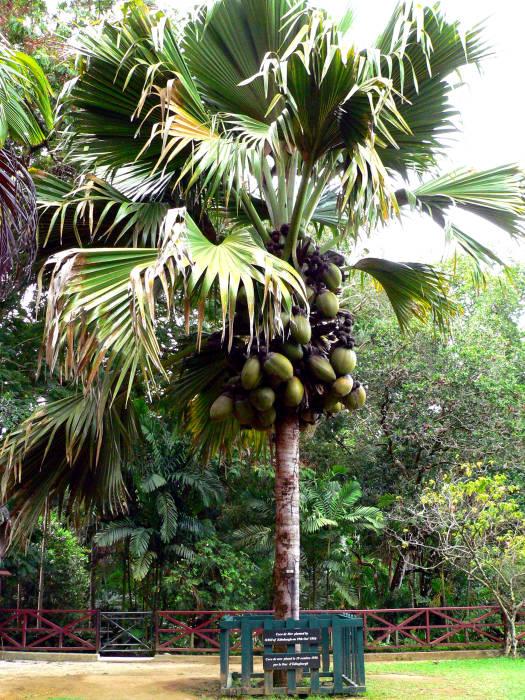 Buah coco de mer/kelapa bokong Maladewa.