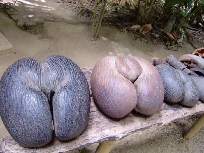 Buah coco de mer/kelapa bokong dari Maladewa.