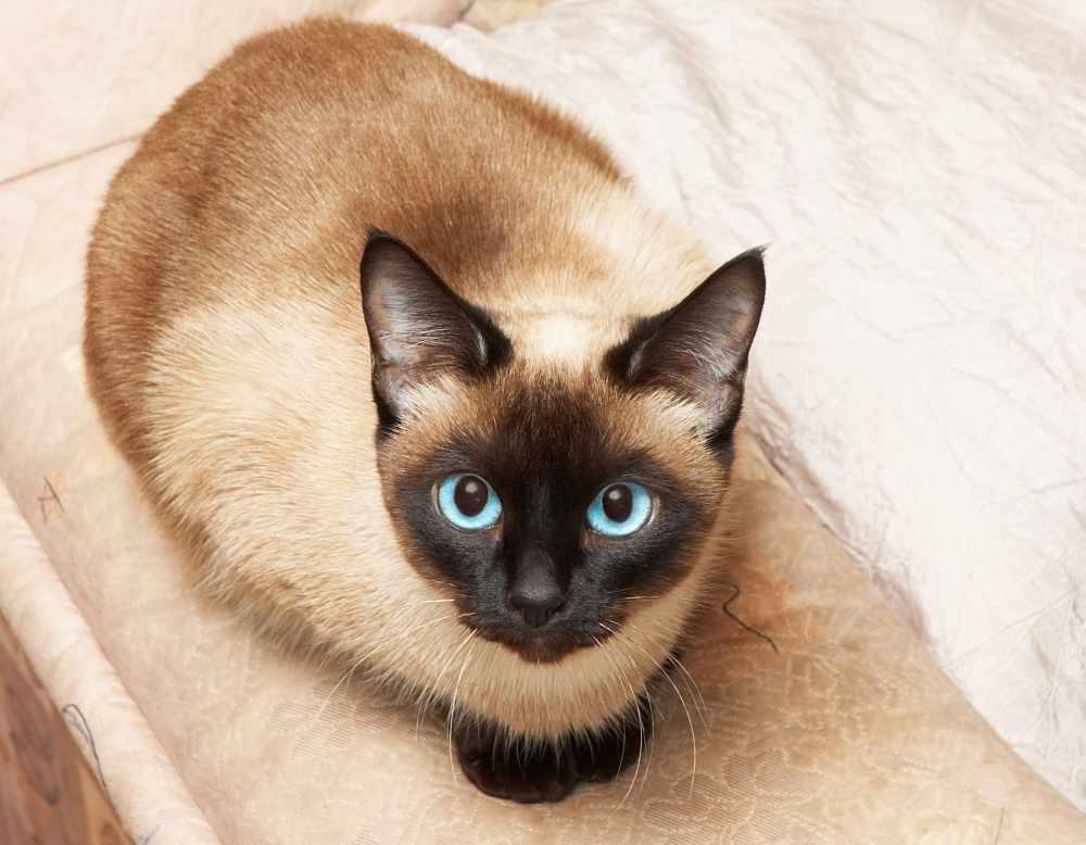 Kucing Siam.