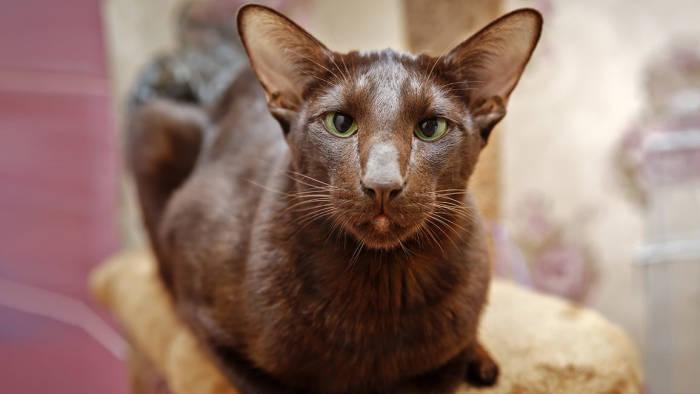 Kucing havana brown.