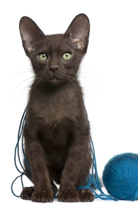 Kucing lucu Havana Brown.