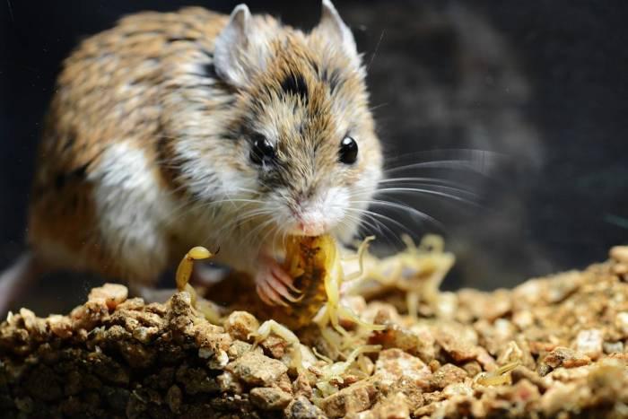 Tikus belalang yang kebal racun kalajengking.