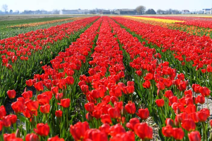 bunga tulip di belanda