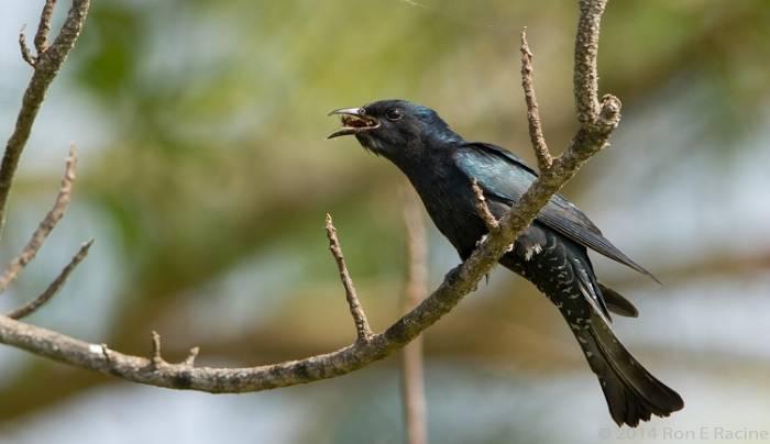 Fakta Kedasih, Si Burung Pertanda Kematian yang Licik!