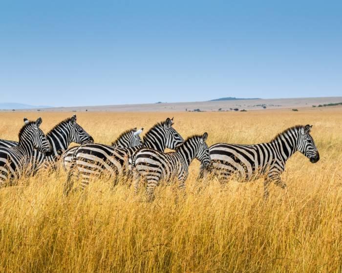 Gerombolan zebra.