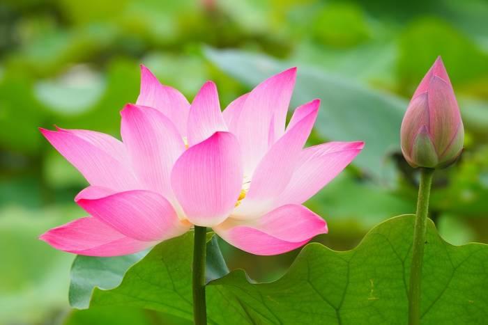 Bunga Lotus.