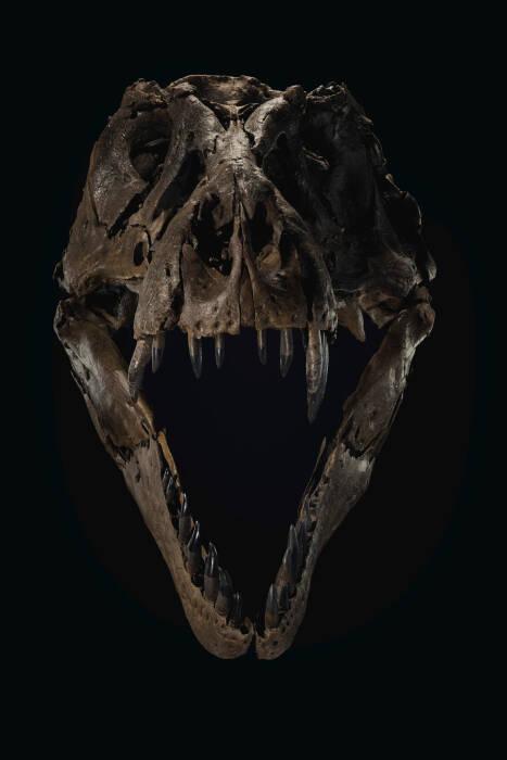 kerangka t-rex terbesar di bumi akan dilelang