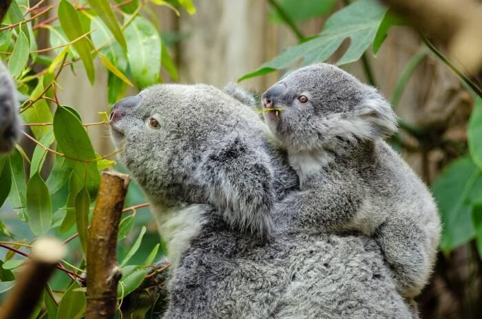 Koala dan anaknya