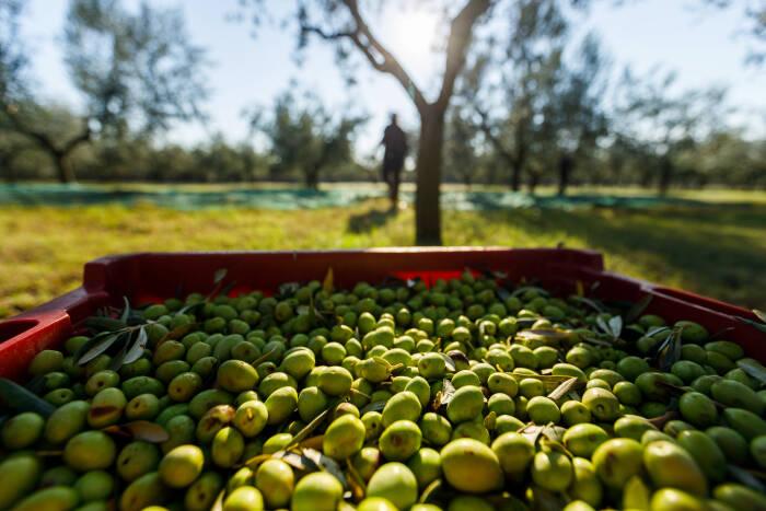 Semenanjung Istrian di Kroasia, Penghasil Minyak Zaitun
