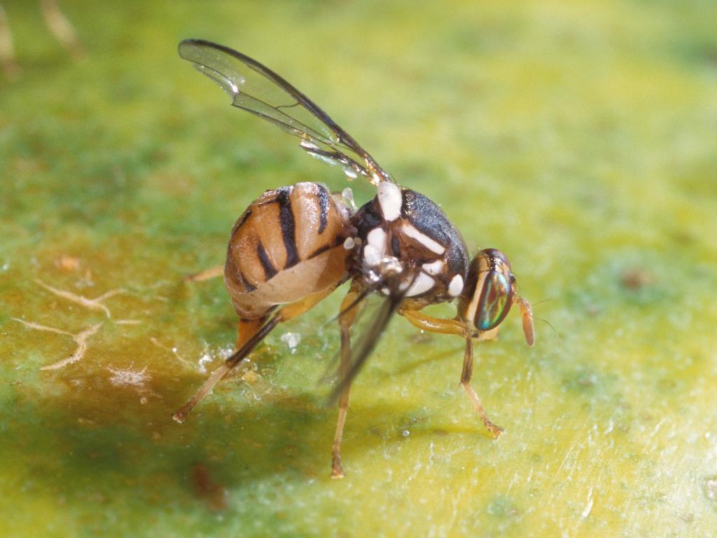 Siklus Hidup Lalat Buah Hama Perusak Buah dan Sayur