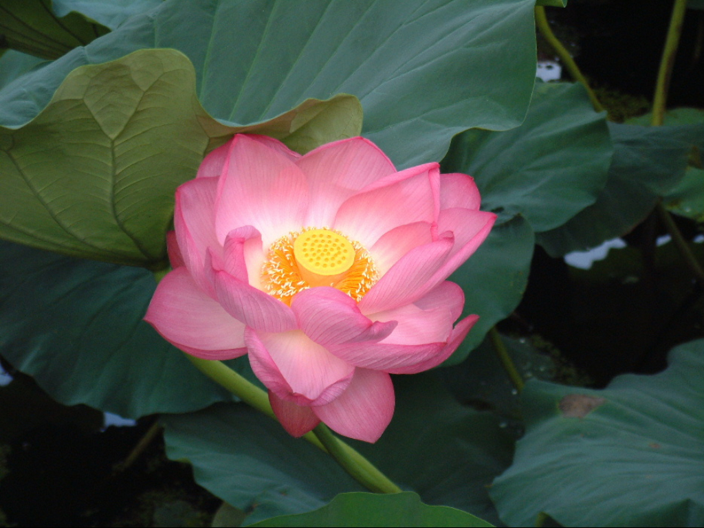 Bunga Lotus dan Legendanya dalam Mitologi Mesir Kuno