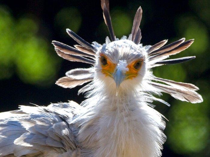 Secretary Bird Burung Cantik nan Anggun dari Benua Afrika