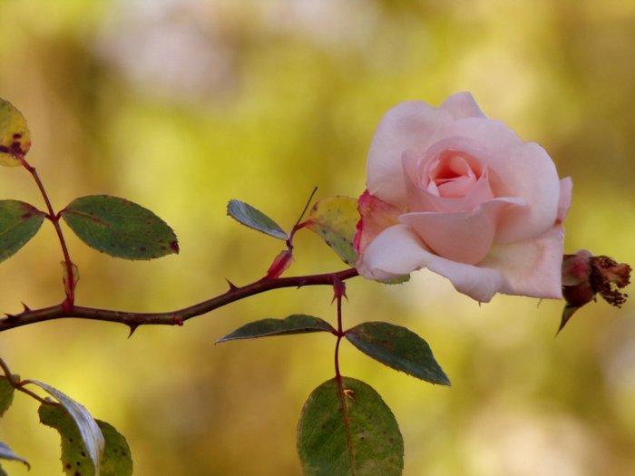 Apakah Fungsi Duri-Duri pada Tanaman Mawar
