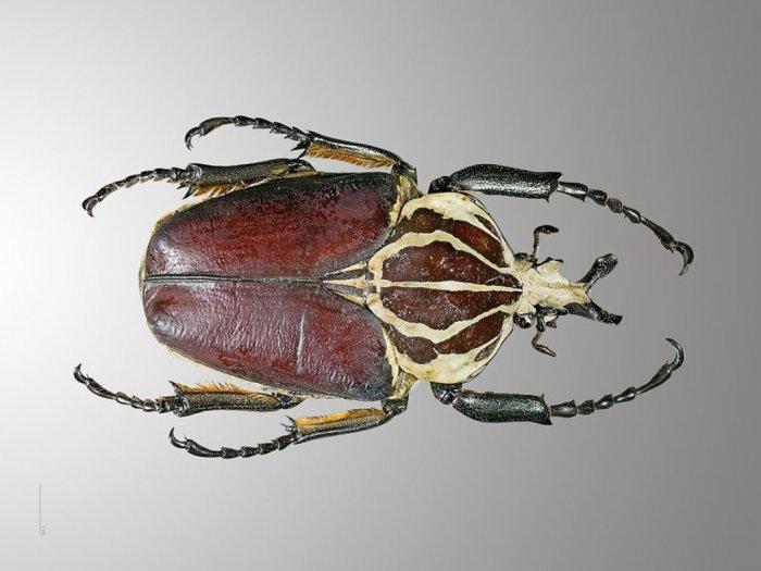 Kumbang Goliath Serangga Terbesar di Hutan Tropif Afrika