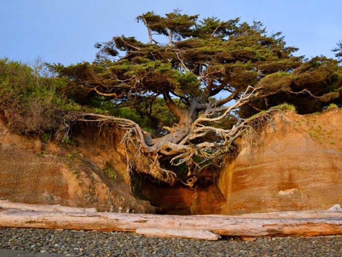Perjuangan Hidup Pohon amp039Kalalochamp039 yang Tergantung di Tengah Tebing