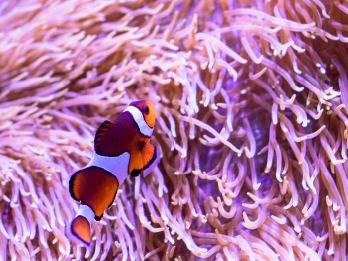 Ikan Nemo Ikan Hias yang Hidup di Daerah Terumbu Karang