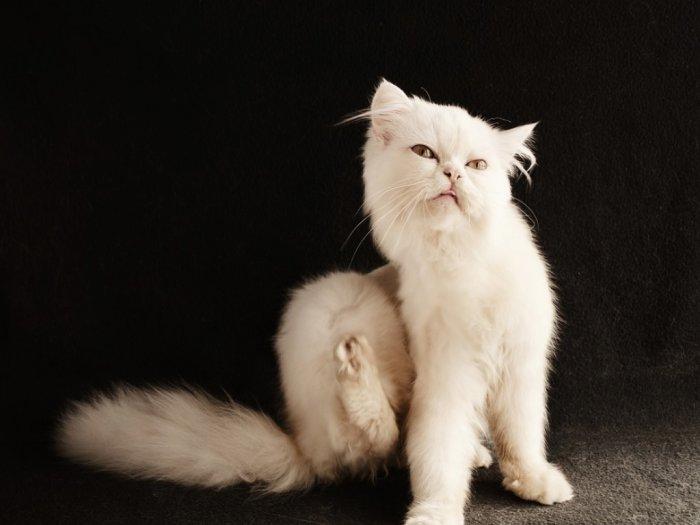 Meski di Rumah Kucing Dihinggapi Kutu Dari Mana Kutu Kucing Berasal