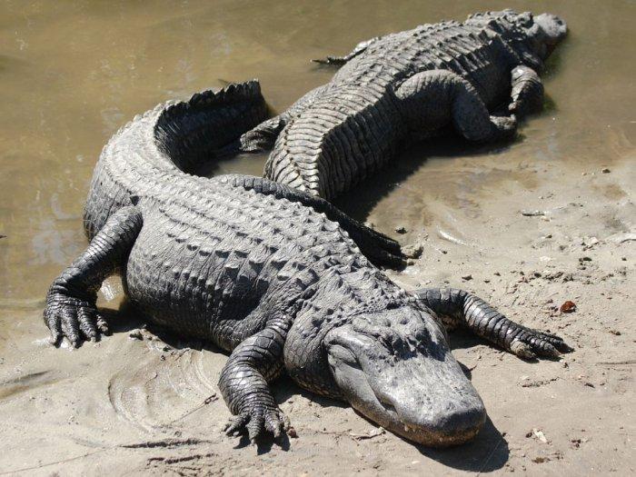 Aligator Hewan Mirip Buaya yang Bermulut Besar