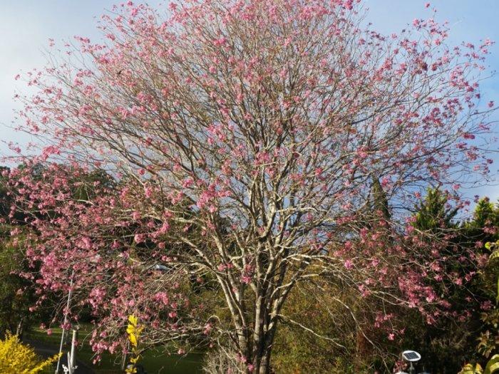 Mengenal Tanaman Tabebuya yang Cantik Mirip Bunga Sakura