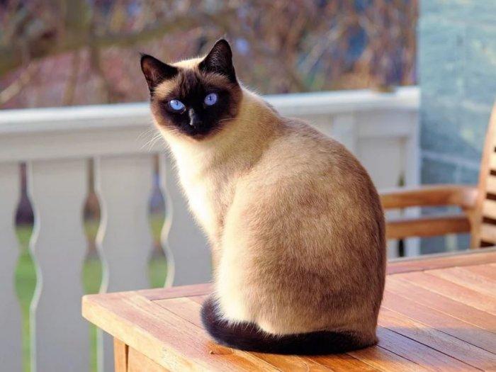 Kucing Siam Ras Kucing Asal Thailand yang Penyayang