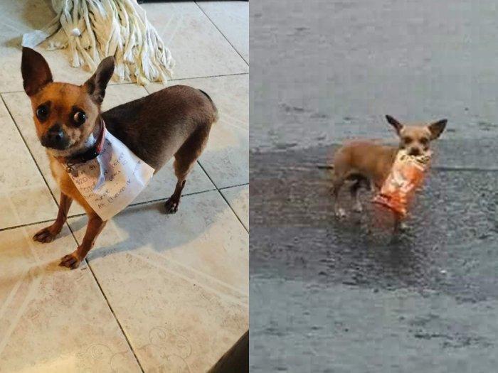 Karantina Corona Majikan di Meksiko Latih Anjing Chihuahua Miliknya Untuk Belanja