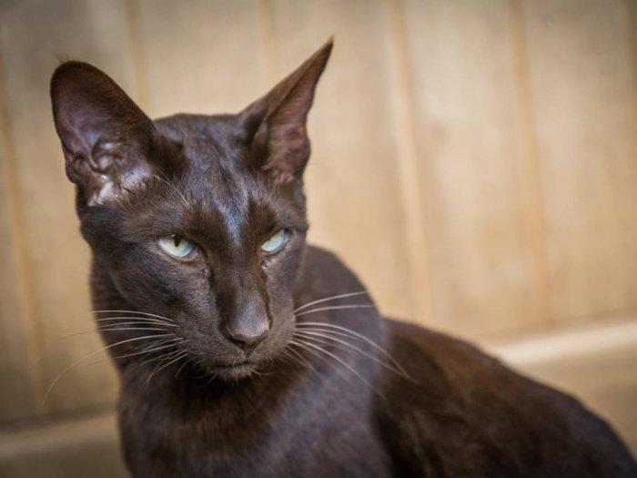 Kucing Havana Brown Ras Kucing Langka Berwarna Cokelat