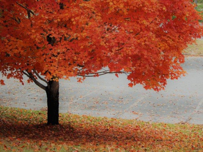 Pohon Mapkle Tanaman Nasional Kanada Penghasil Sirup Maple