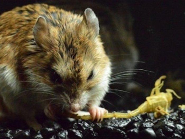 Tikus Belalang Spesies Tikus Agresif yang Kebal Racun Kalajengking