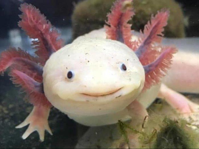 Axolotl Spesies Salamander Berwajah Lucu