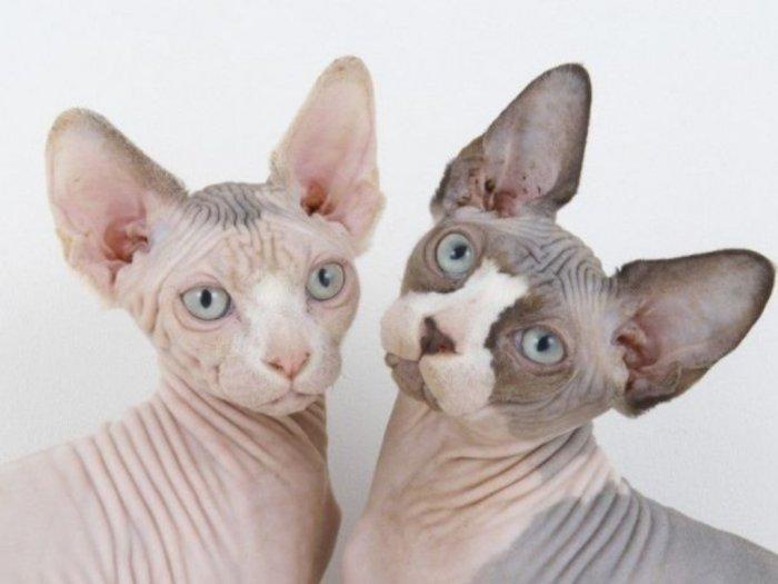 Ras Kucing Sphynx Kucing Tak Berbulu yang Berharga Mahal