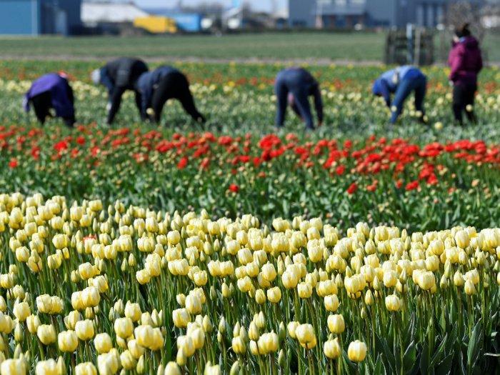 Gara-gara Corona 140 Juta Tulip di Belanda Gagal Panen