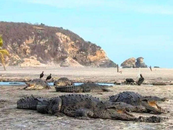 Karena Corona Pengunjung Pantai Meksiko Digantikan Oleh Buaya