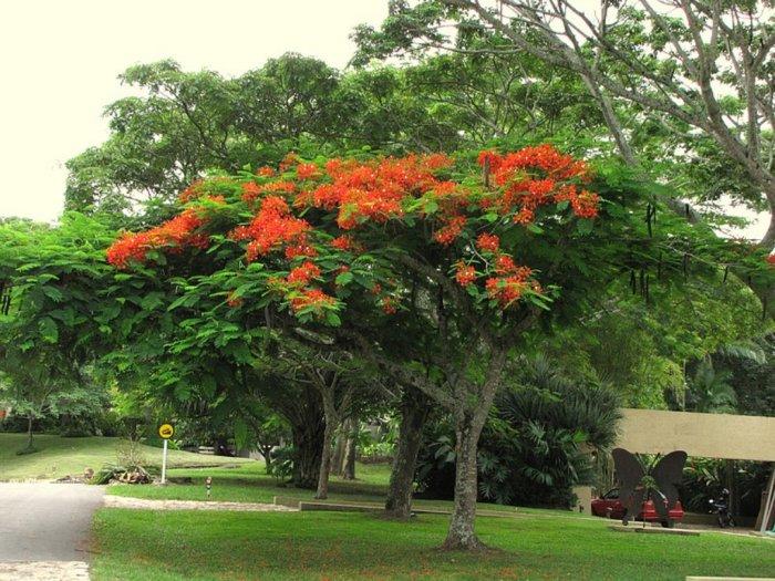 Pohon Flamboyan Peneduh yang Bisa Jadi Obat Malaria
