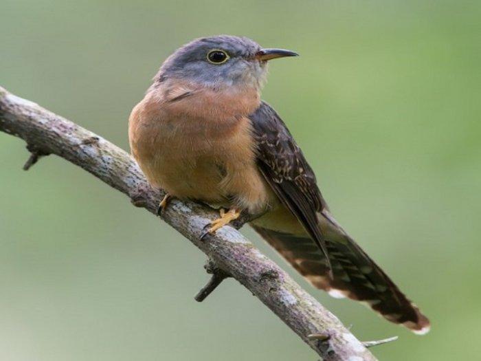Fakta Kedasih Si Burung Pertanda Kematian yang Licik