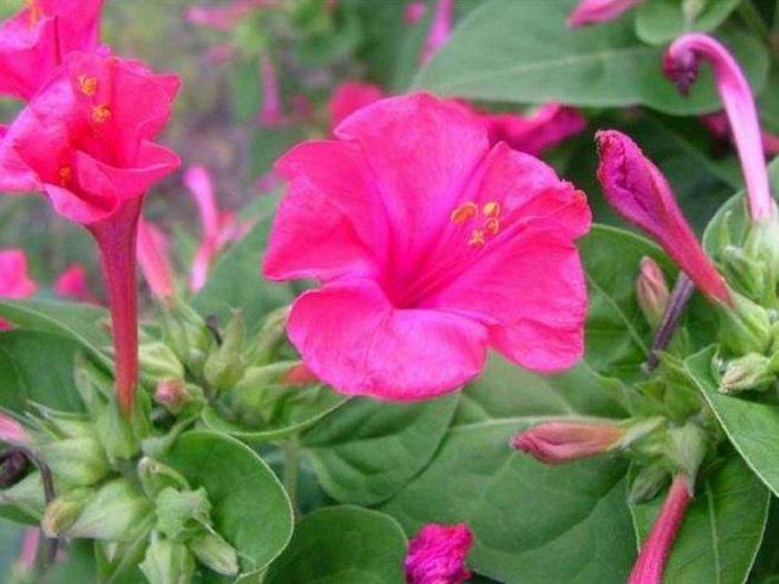 Fakta Bunga Pukul Empat yang Mekar di Sore Hari