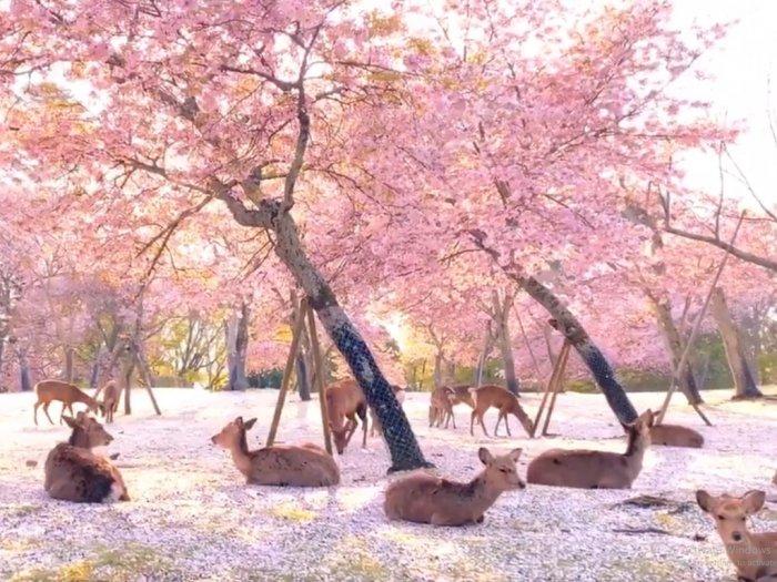 Nihil Pengunjung di Tengah Pandemi Taman Nara di Jepang Makin Tampak Indah