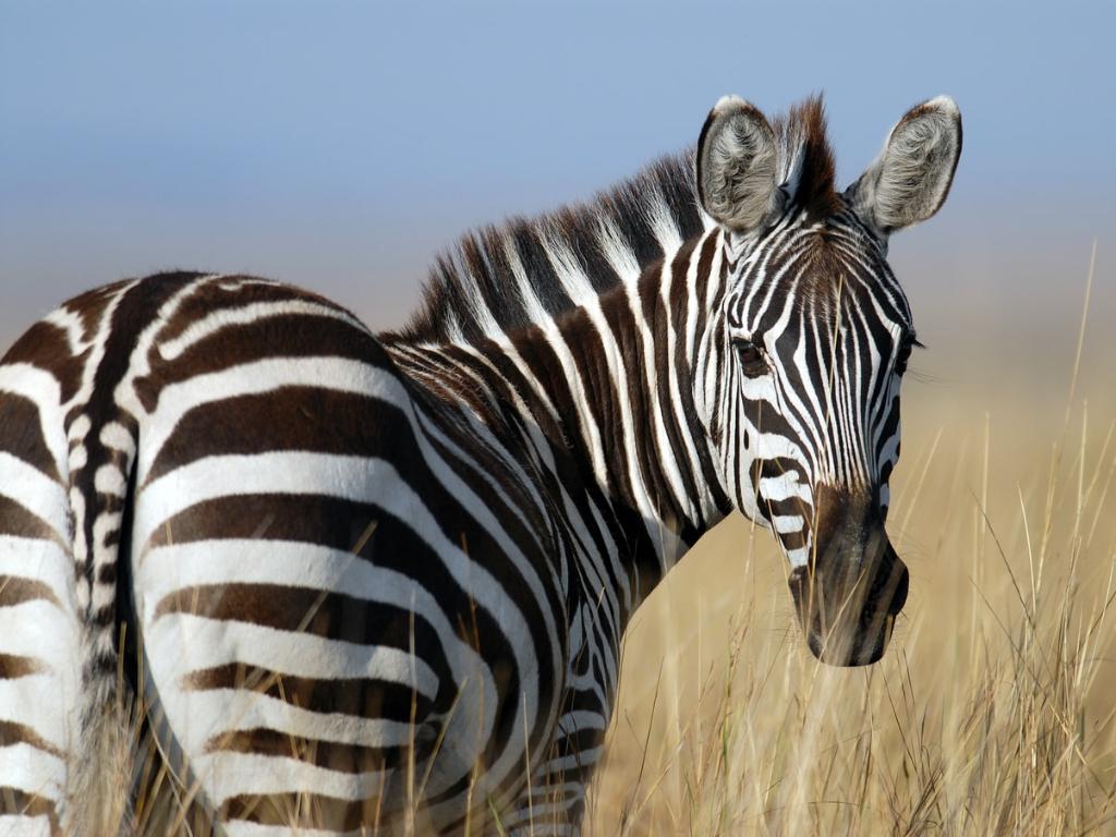 Ternyata Inilah Fungsi Motif Hitam Putih pada Tubuh Zebra