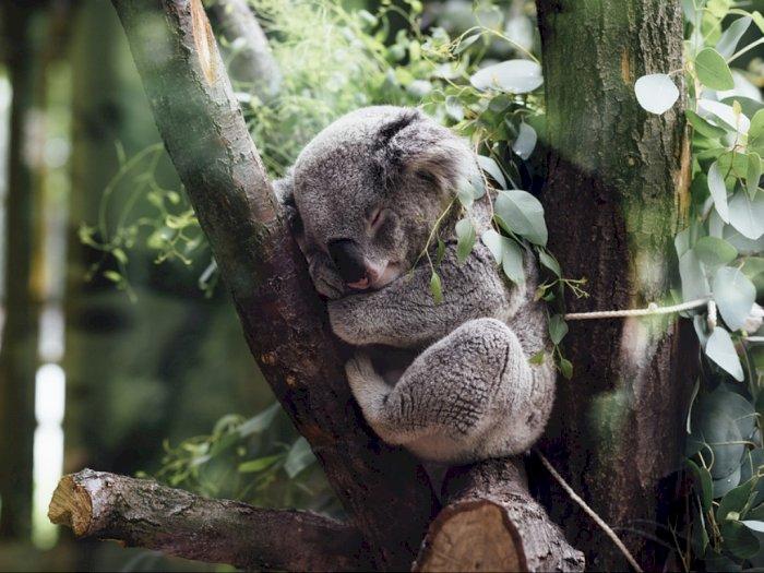 Fakta Penting Dibalik Koala yang Dianggap Pemalas dan Banyak Tidur