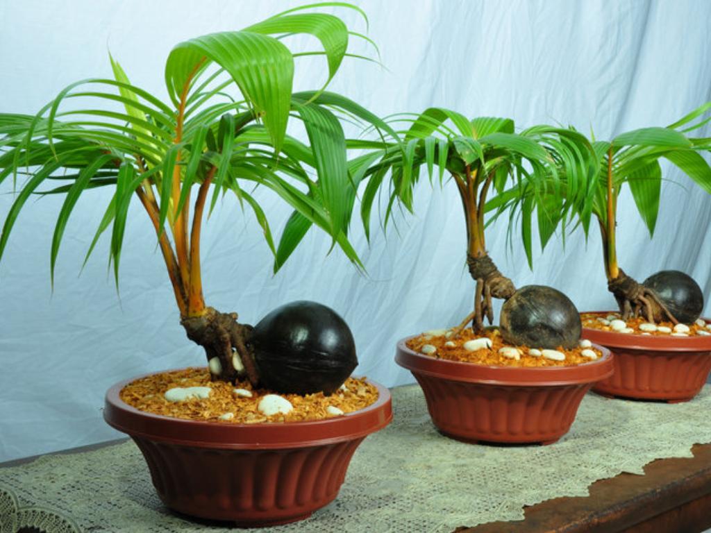 Pohon Kelapa Bonsai yang Imut Namun Tak Bisa Berbuah