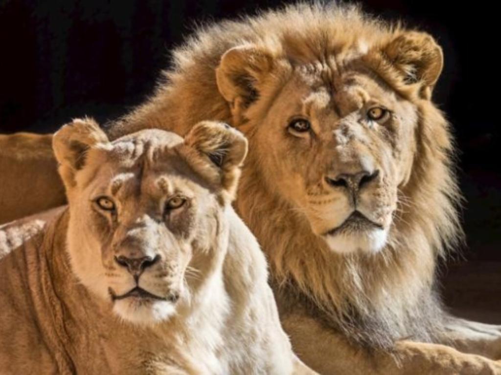 Dua Singa Afrika Jalani Eutanasia karena Sudah Tua dan Sakit-Sakitan