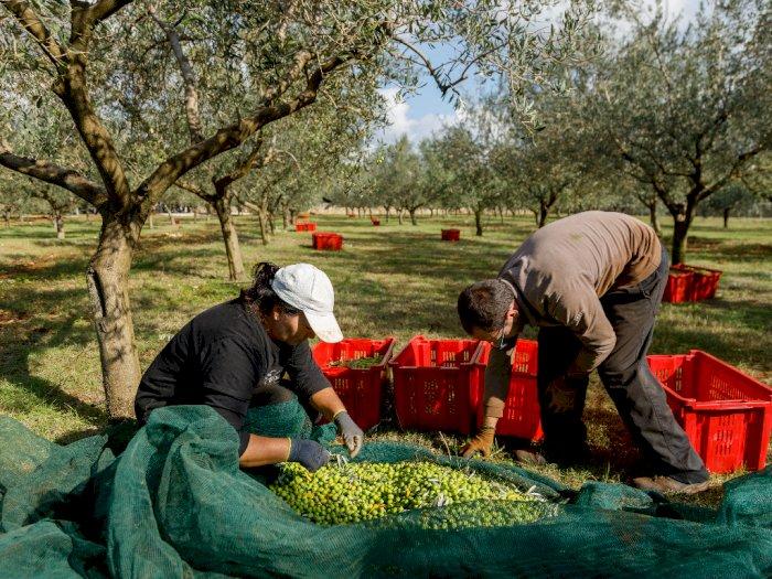 Semenanjung Istrian di Kroasia Penghasil Minyak Zaitun Terbaik di Dunia
