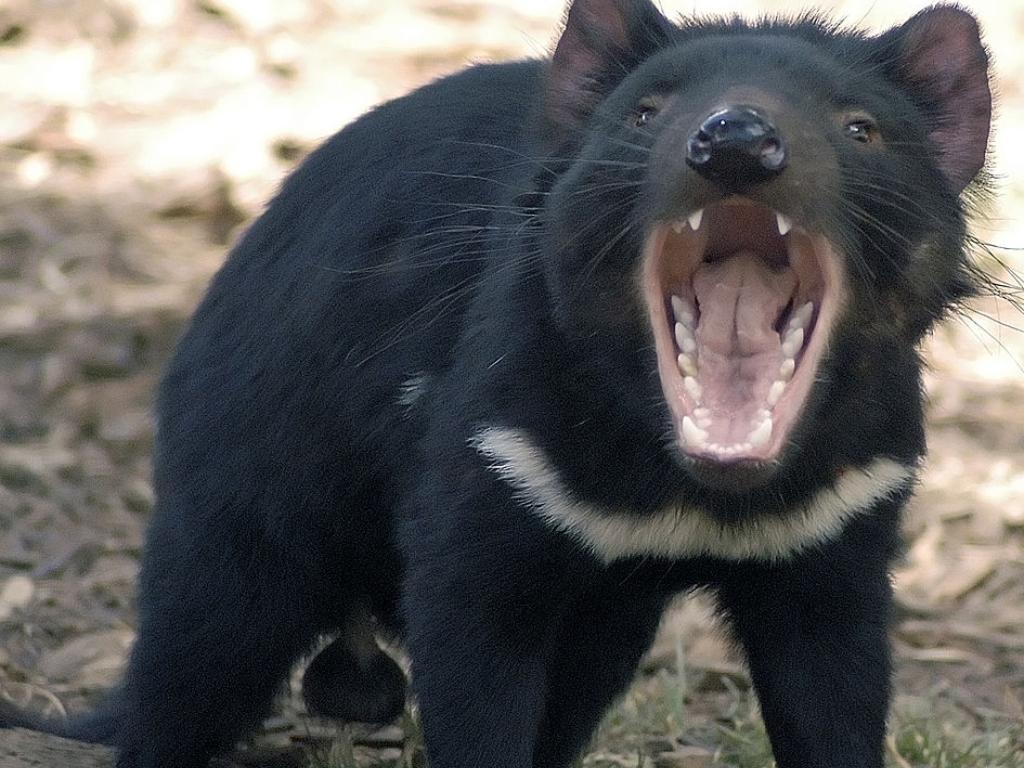 Tasmania Devil Karnivora yang Makan Banyak dan Tak Takut Gemuk