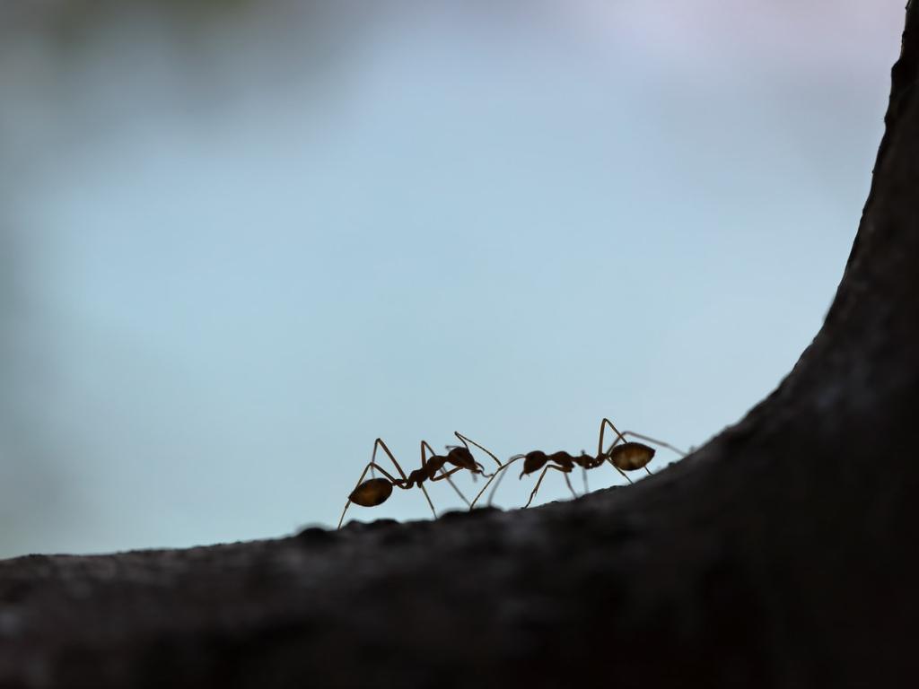 Alasan Dibalik Semut yang 039Saling Bersalaman039 Saat Bertemu