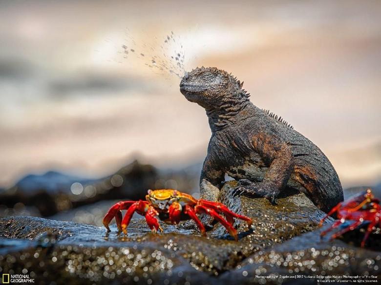 Kwikku, Iguana Bersin karya M Engelmann