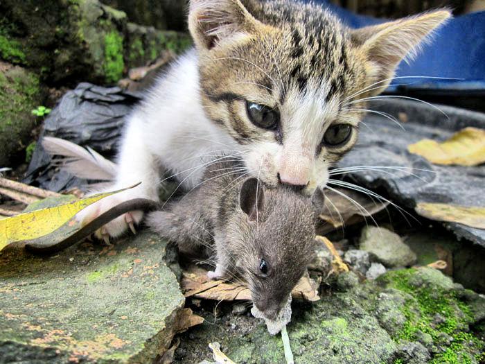 Kwikku, Bawa pulang bangkai binatang