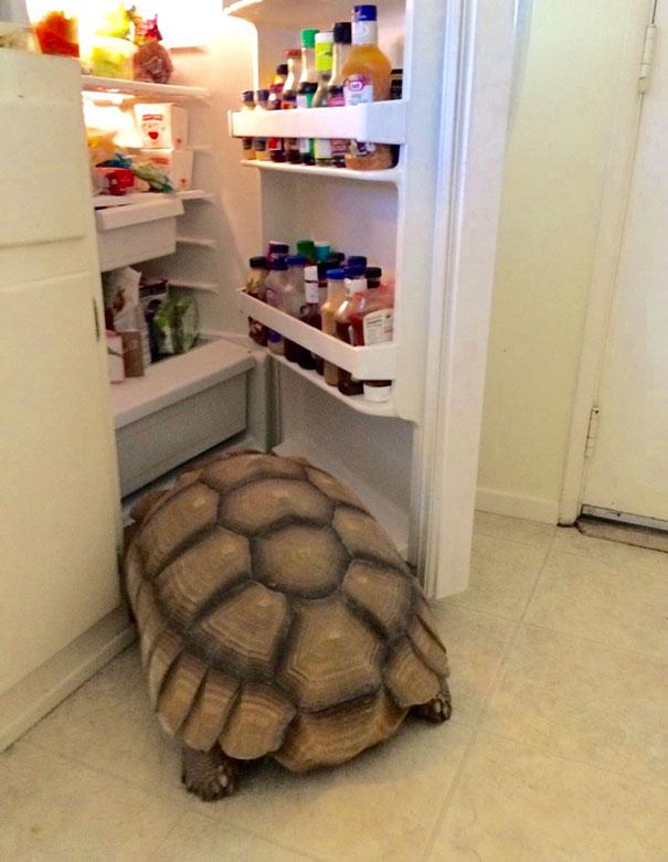 Kwikku, Kurakura mencuri makanan
