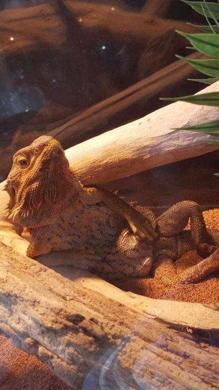 Kwikku, Iguana model