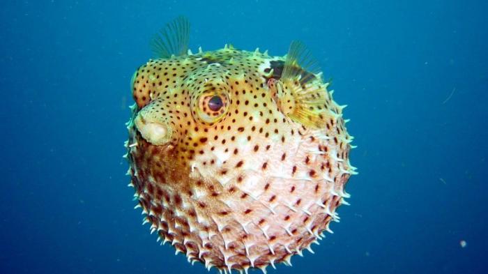 Kwikku, Ikan Buntal