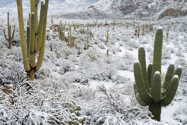 Kwikku, Turun salju di padang pasir
