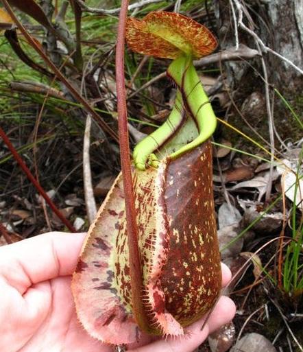 Kwikku, Nepenthes